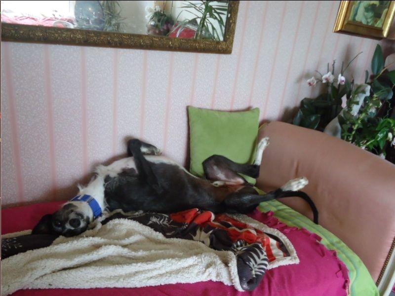 JONATHAN, merveilleux galgo barbu Scooby France  Adopté  - Page 2 Jonath44