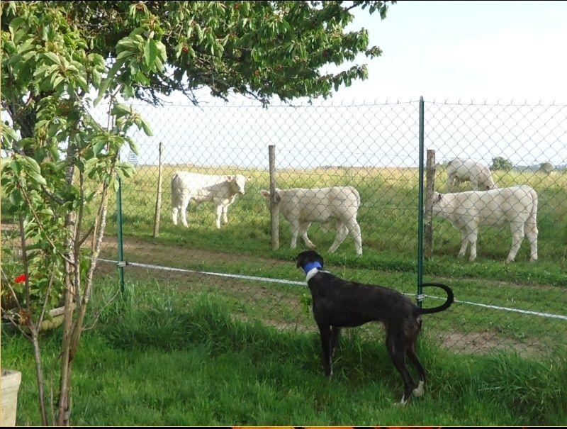 JONATHAN, merveilleux galgo barbu Scooby France  Adopté  - Page 2 Jonath47