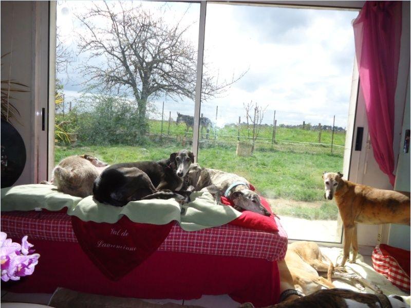 NACHO, galgo noir et blanc, 5 ans  Scooby France - ADOPTE - Page 6 Nacho712