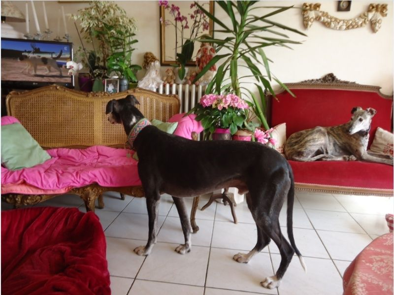 NACHO, galgo noir et blanc, 5 ans  Scooby France - ADOPTE - Page 6 Nacho714