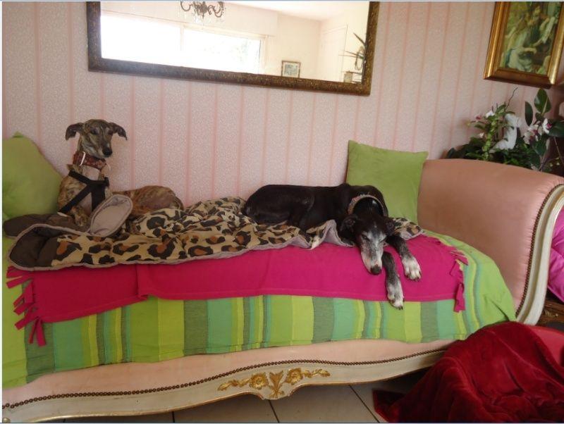 Sevilla tendre et douce galga Scooby France Adoptée - Page 2 Sevill14