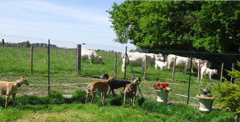Sevilla tendre et douce galga Scooby France Adoptée - Page 2 Sevill18