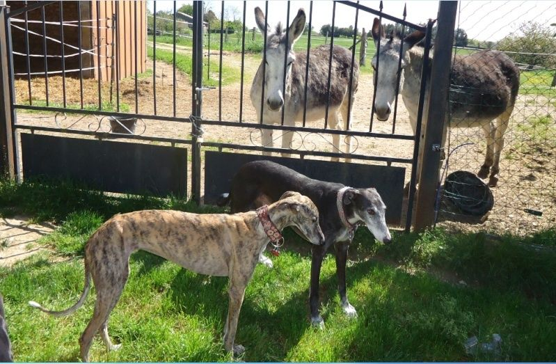 Sevilla tendre et douce galga Scooby France Adoptée - Page 2 Sevill19