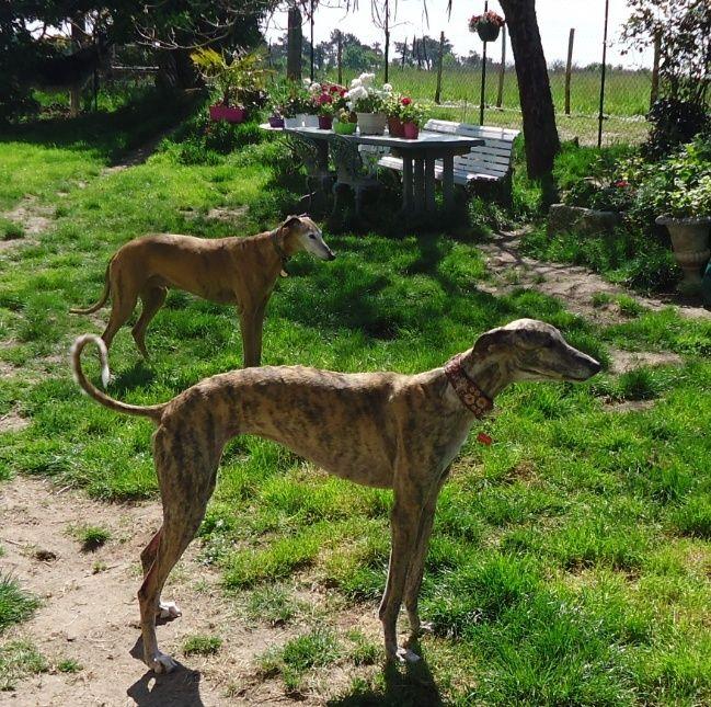 Sevilla tendre et douce galga Scooby France Adoptée - Page 2 Sevill21