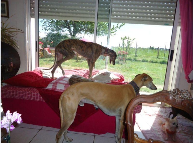 Sevilla tendre et douce galga Scooby France Adoptée - Page 3 Sevill26
