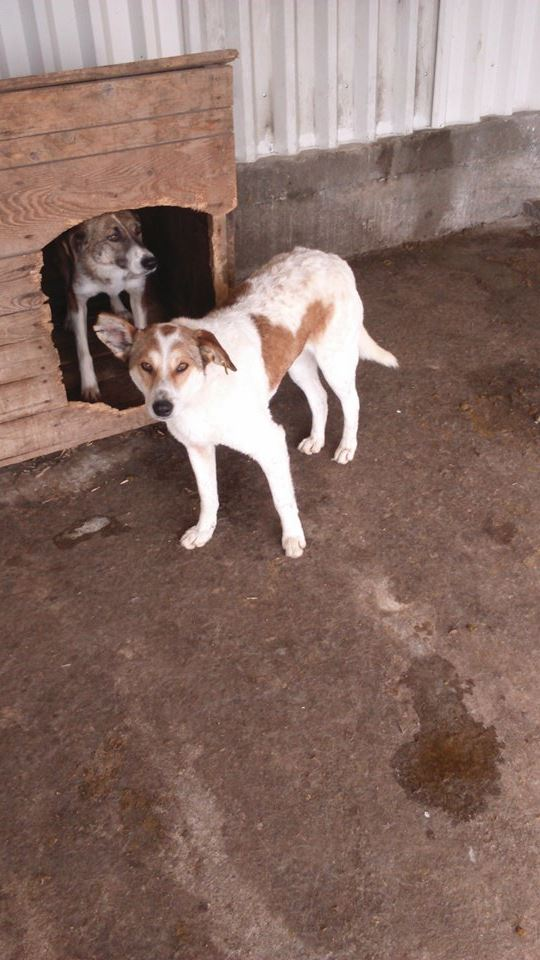 VOLVIC - Femelle croisée lévrier, taille moyenne née env 2013 (PASCANI) - adoptée par Marie (dpt51) - Page 2 13023510