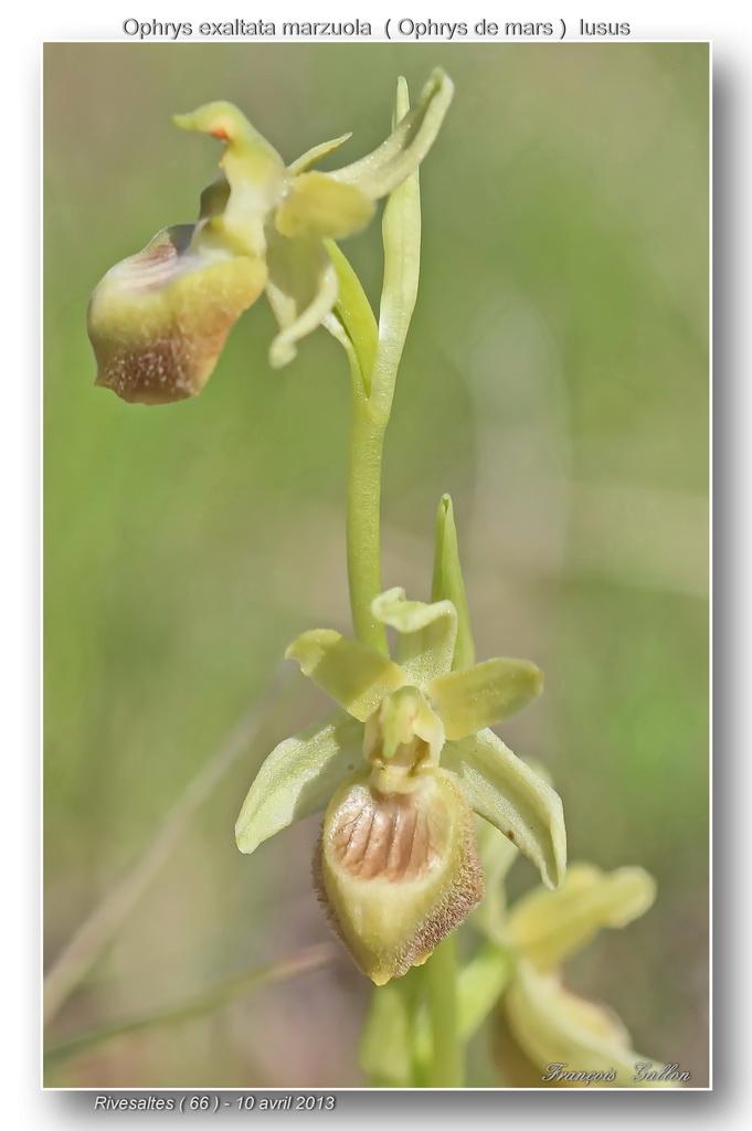 1- Lusus d'Ophrys de mars à Rivesaltes 2010-2016 Ophrys32