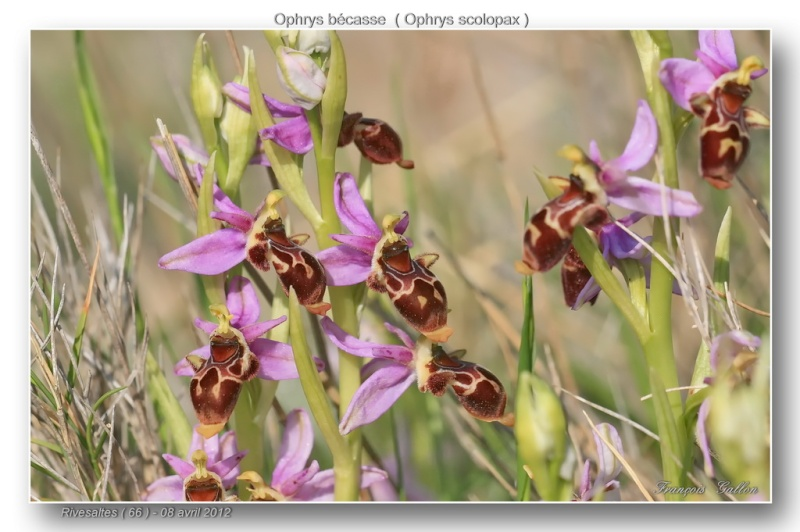 Ophrys scolopax ( Ophrys bécasse ) Ophrys45