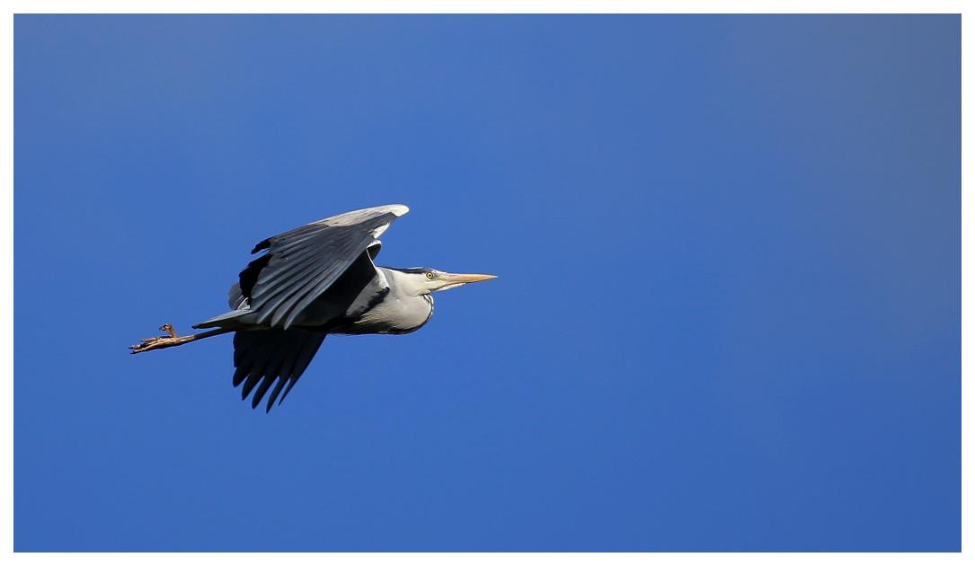 Héron aller et retour Heron010