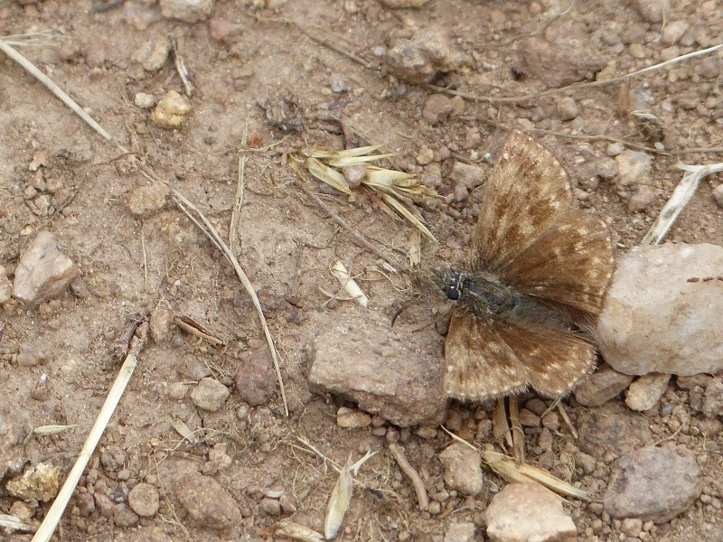 Erynnis tages 02910