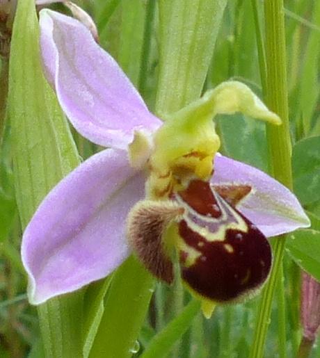 [Ophrys apifera]  04610