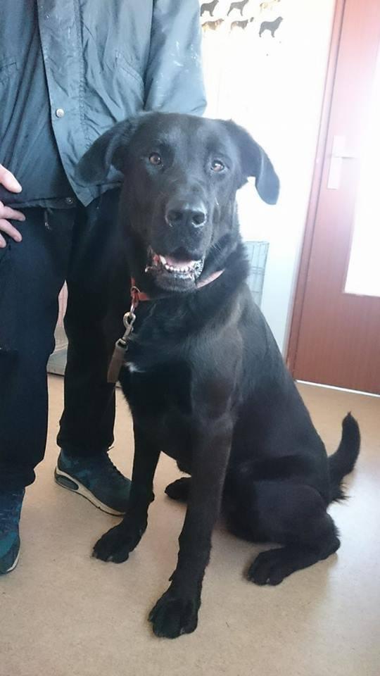 LOUXOR (chien mâle croisé dogue labrador) 13124810