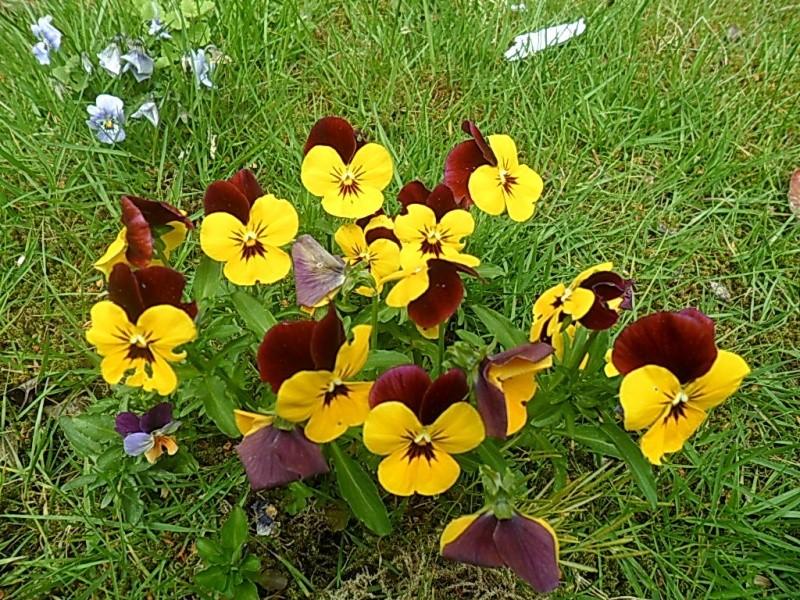 Viola - Veilchen aller Art - Seite 2 Sam_5857