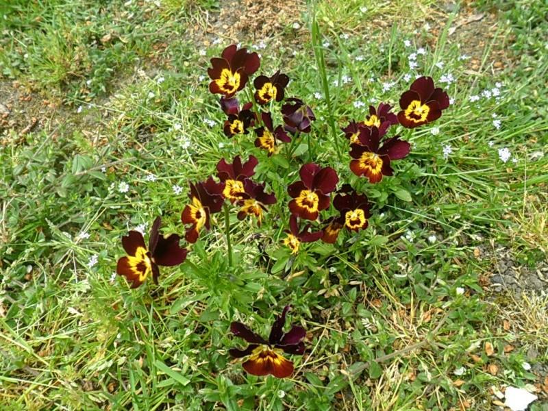 Viola - Veilchen aller Art - Seite 2 Sam_5860