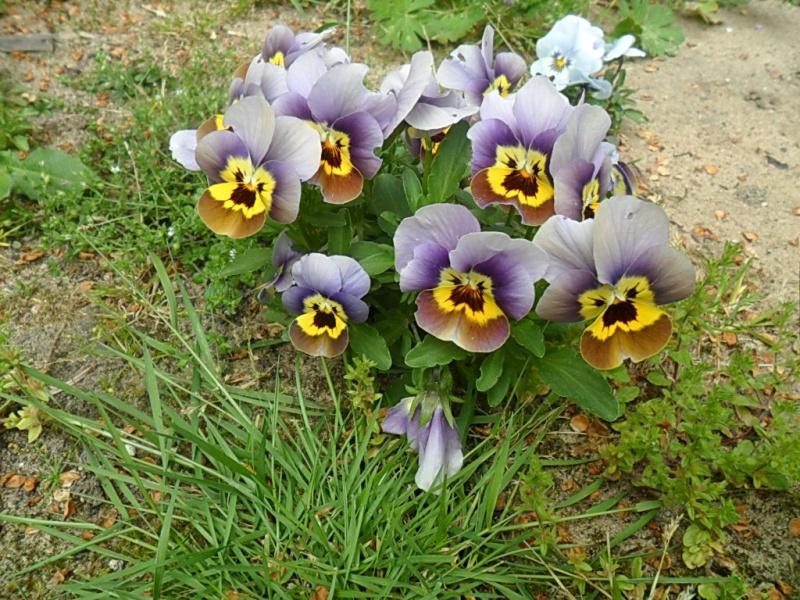 Viola - Veilchen aller Art - Seite 2 Sam_5861