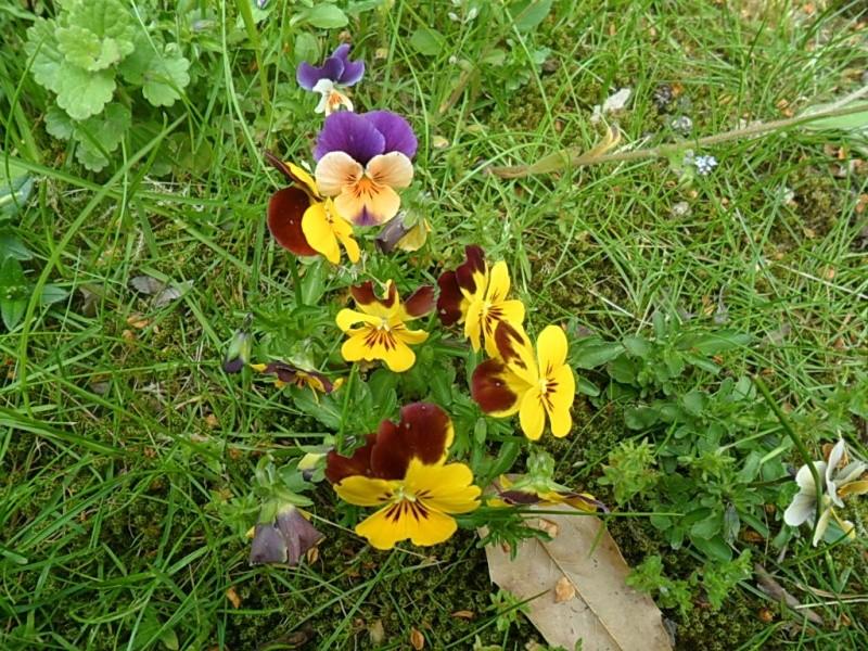 Viola - Veilchen aller Art - Seite 2 Sam_5862
