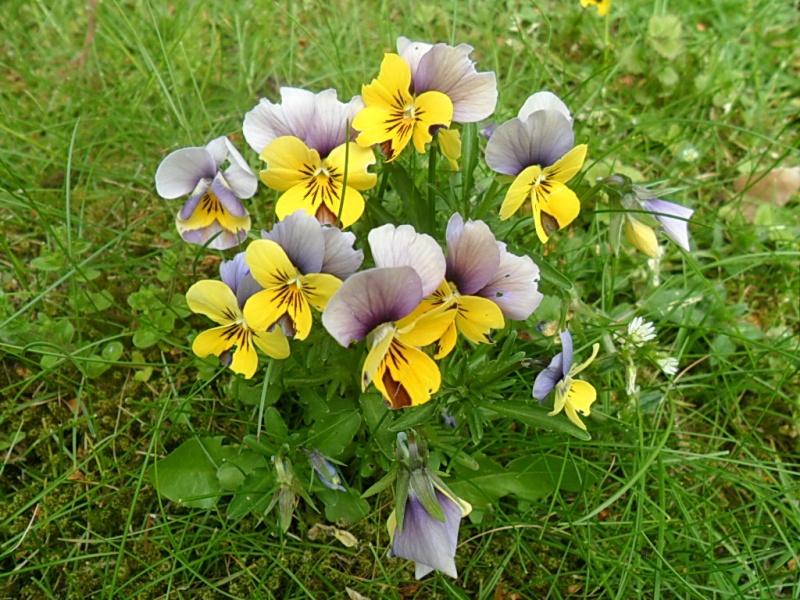 Viola - Veilchen aller Art - Seite 2 Sam_5863