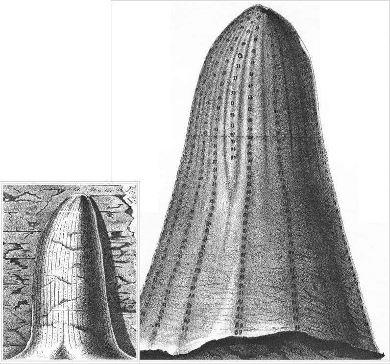 Sigillaria Brongniart ,1822. Syringodendron Sternberg,1820.  - Page 4 Golden10
