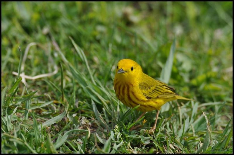 Une belle petite jaune !  Dsc_0711