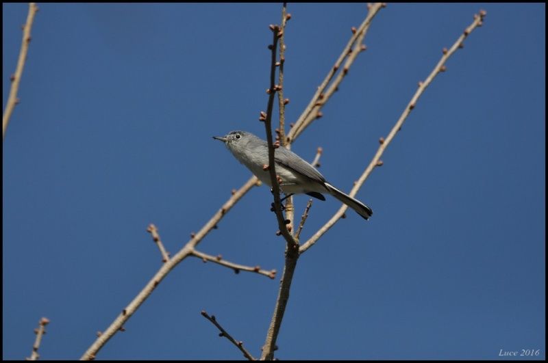 Identification ce petit oiseau ! Dsc_2810