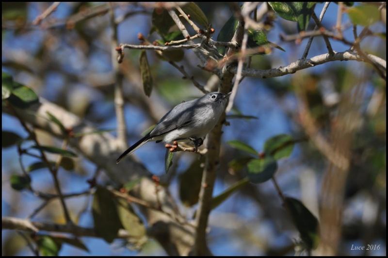 Identification ce petit oiseau ! Dsc_2811