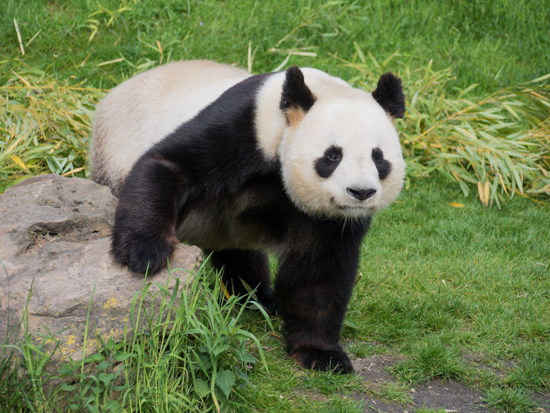 le Panda, star de Beauval P1070110