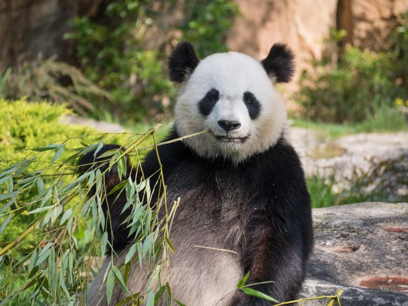 le Panda, star de Beauval P1070111