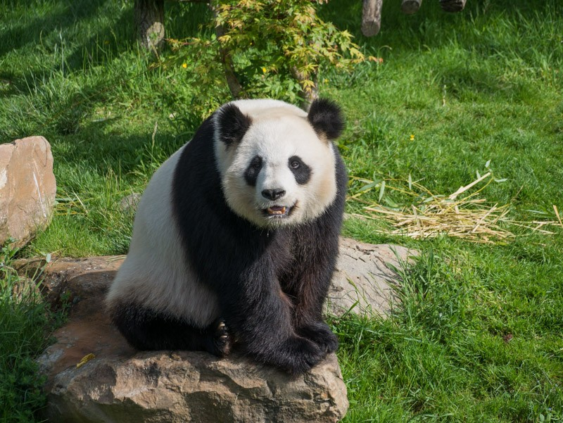 le Panda, star de Beauval P1070112