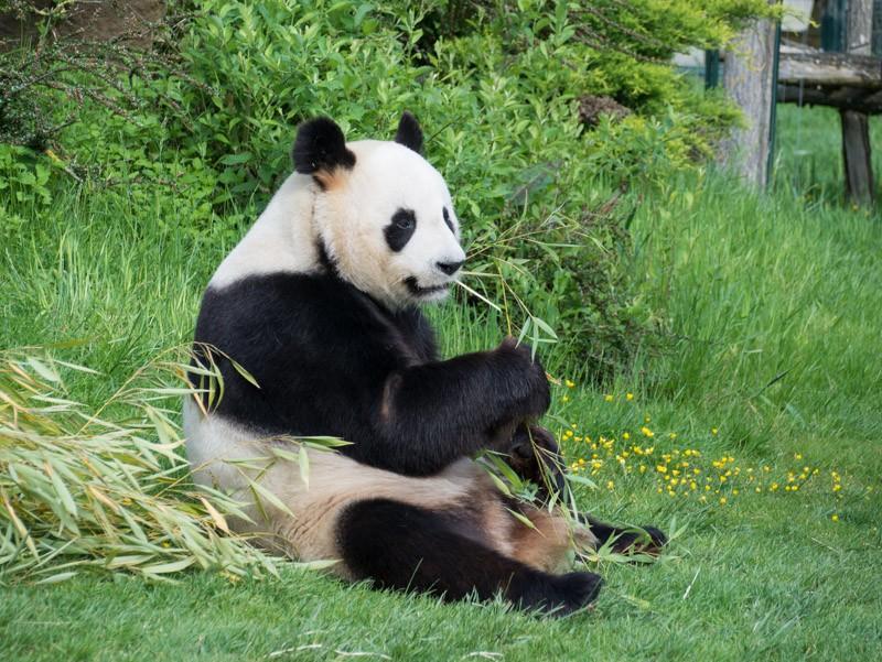 le Panda, star de Beauval P1070113