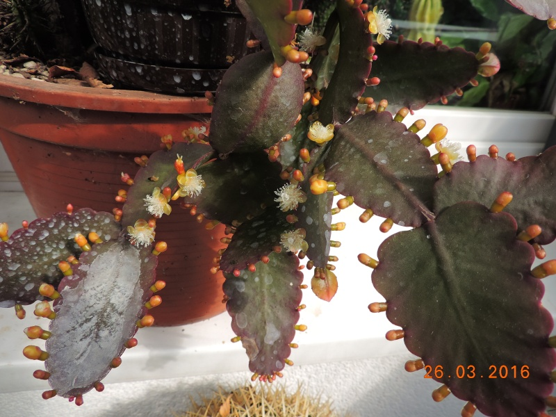 Cacti and Sukkulent in Köln, every day new flowers in the greenhouse Part 139 Bild_114