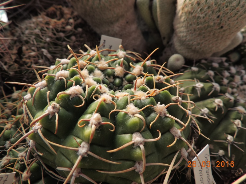 Cacti and Sukkulent in Köln, every day new flowers in the greenhouse Part 139 Bild_116