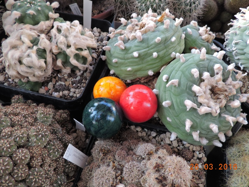 Cacti and Sukkulent in Köln, every day new flowers in the greenhouse Part 139 Bild_125