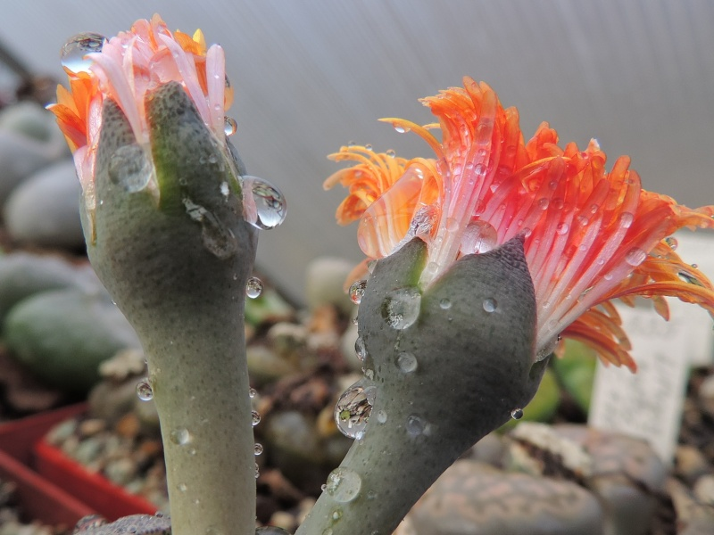 Cacti and Sukkulent in Köln, every day new flowers in the greenhouse Part 140 Bild_167