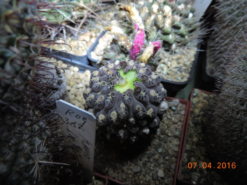 Cacti and Sukkulent in Köln, every day new flowers in the greenhouse Part 140 Bild_176