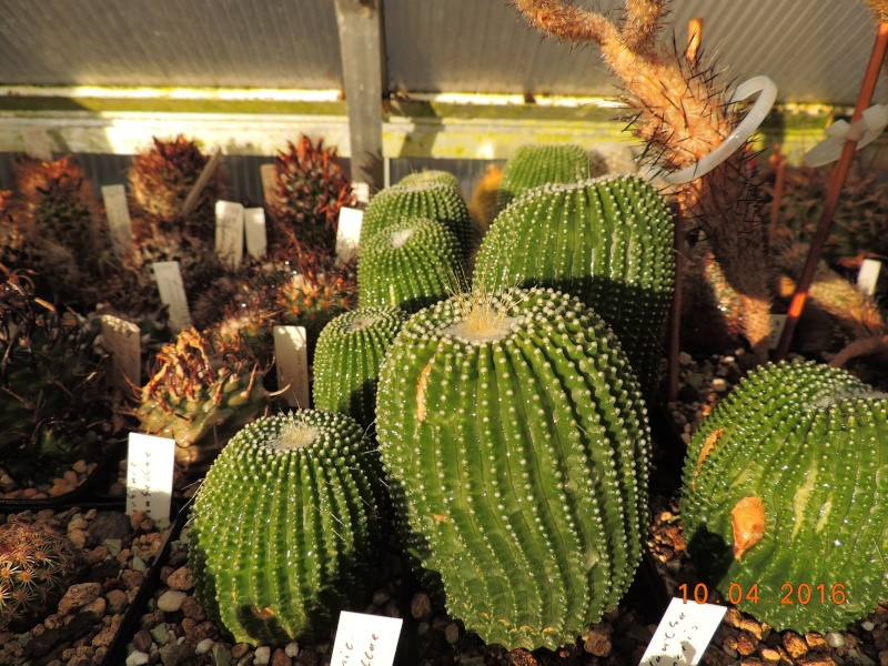 Cacti and Sukkulent in Köln, every day new flowers in the greenhouse Part 140 Bild_181