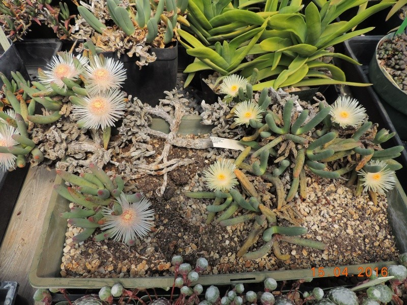 Cacti and Sukkulent in Köln, every day new flowers in the greenhouse Part 140 Bild_245