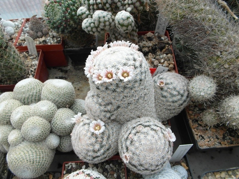 Cacti and Sukkulent in Köln, every day new flowers in the greenhouse Part 141 Bild_333