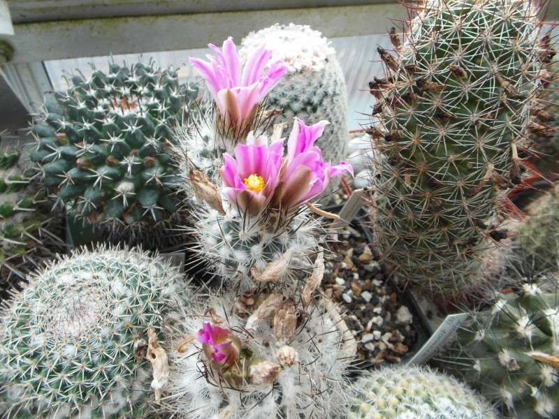 Cacti and Sukkulent in Köln, every day new flowers in the greenhouse Part 141 Bild_338