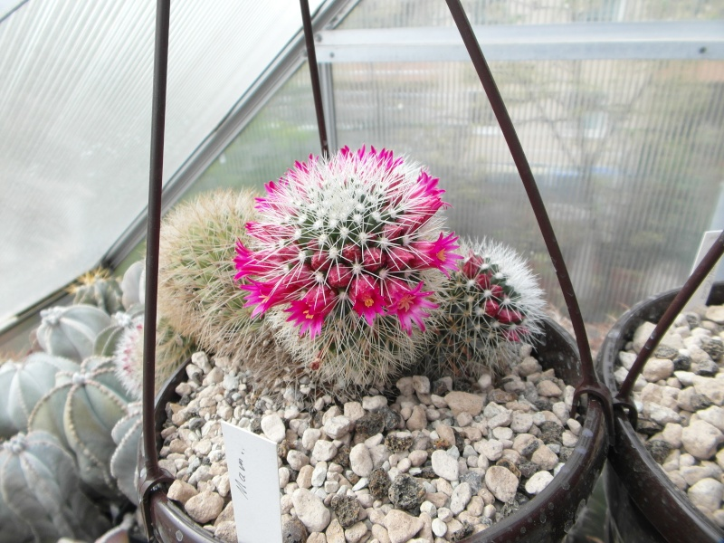 Cacti and Sukkulent in Köln, every day new flowers in the greenhouse Part 141 Bild_340