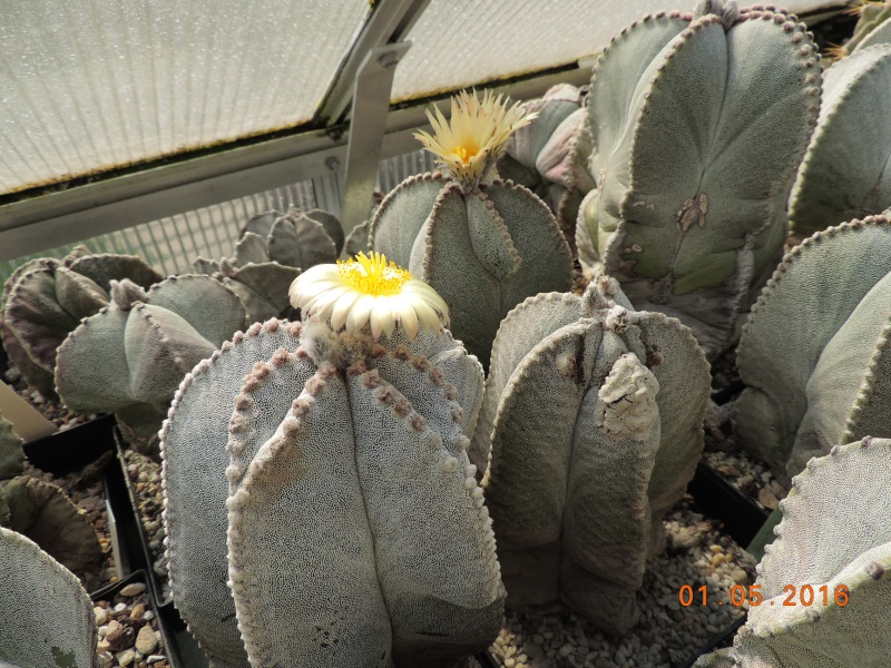 Cacti and Sukkulent in Köln, every day new flowers in the greenhouse Part 142 Bild_359