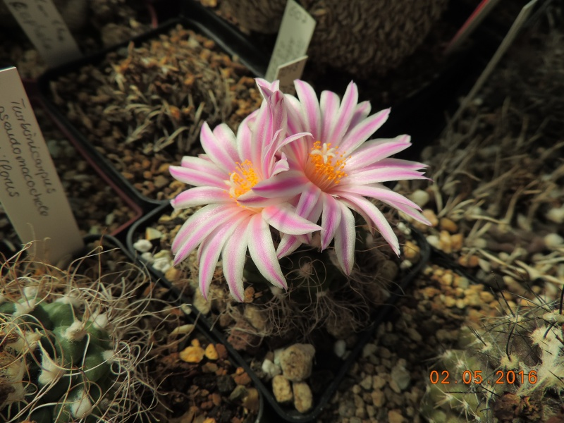 Cacti and Sukkulent in Köln, every day new flowers in the greenhouse Part 142 Bild_372