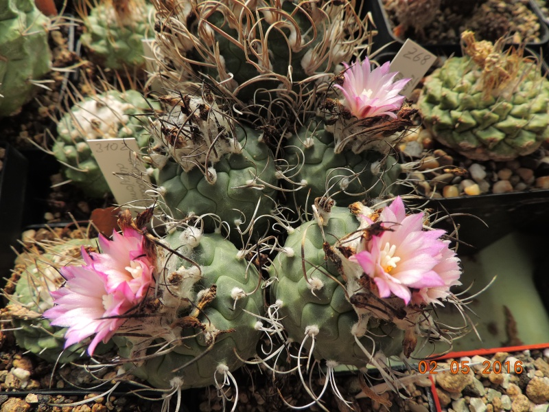 Cacti and Sukkulent in Köln, every day new flowers in the greenhouse Part 142 Bild_373