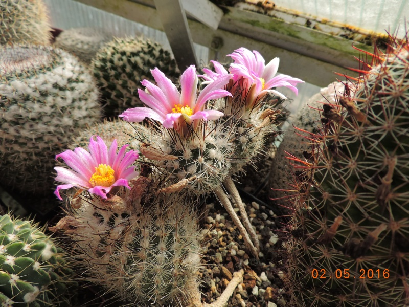 Cacti and Sukkulent in Köln, every day new flowers in the greenhouse Part 142 Bild_390