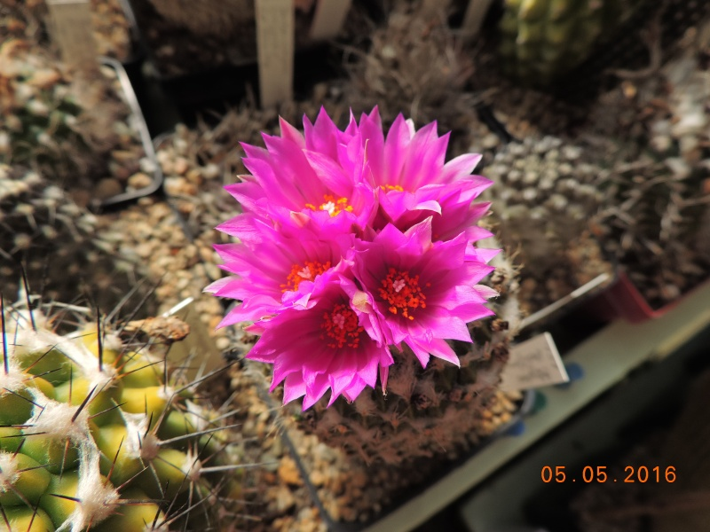 Cacti and Sukkulent in Köln, every day new flowers in the greenhouse Part 142 Bild_405