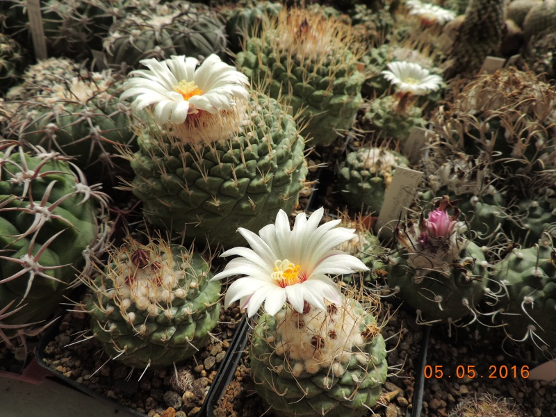 Cacti and Sukkulent in Köln, every day new flowers in the greenhouse Part 142 Bild_407
