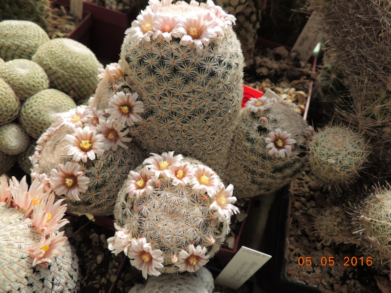 Cacti and Sukkulent in Köln, every day new flowers in the greenhouse Part 142 Bild_415