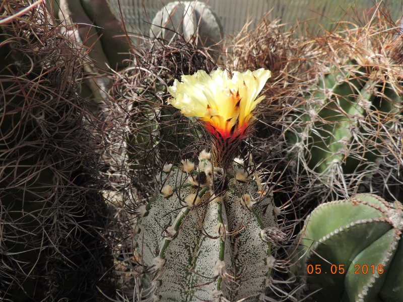 Cacti and Sukkulent in Köln, every day new flowers in the greenhouse Part 142 Bild_418