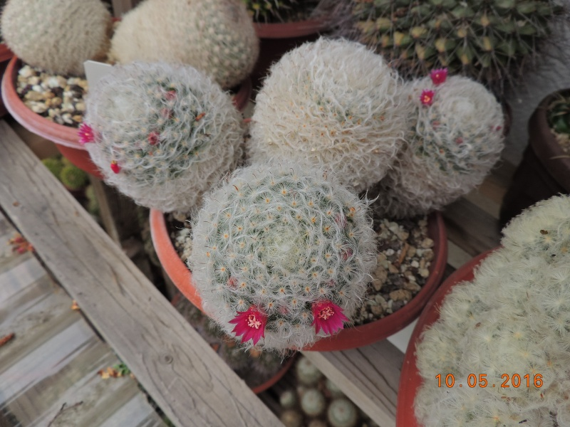 Cacti and Sukkulent in Köln, every day new flowers in the greenhouse Part 142 Bild_460