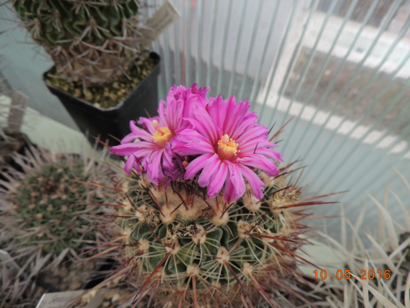 Cacti and Sukkulent in Köln, every day new flowers in the greenhouse Part 142 Bild_473