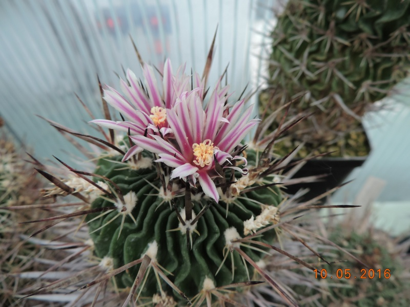 Cacti and Sukkulent in Köln, every day new flowers in the greenhouse Part 142 Bild_476